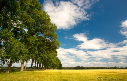 Golden fields of Gotland