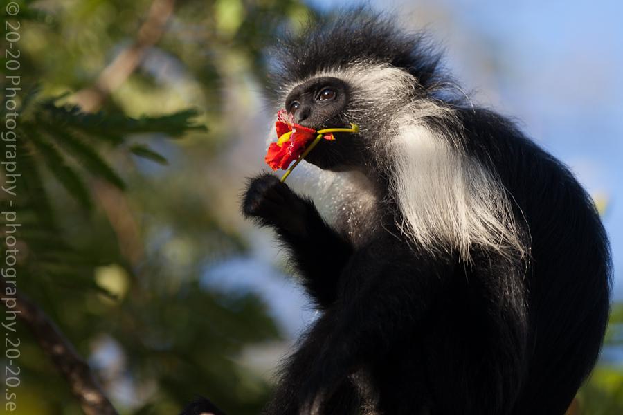 Colobus Monkey, Kenya, Africa